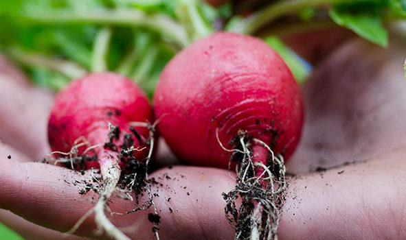 Saatgut aus Radieschen Pflanzen gewinnen – wir zeigen im Film wie es funktioniert
