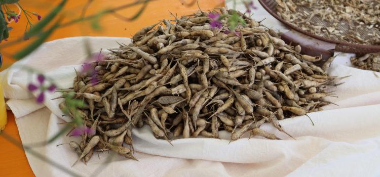 Saatgut aus Radieschenpflanzen gewinnen