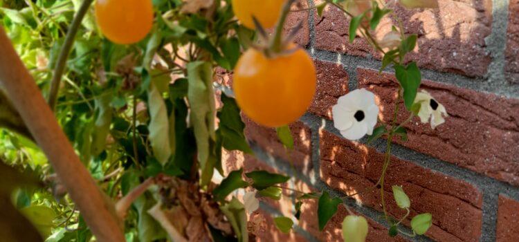 Tomaten: Saatgut aus Tomaten gewinnen – wir zeigen im Film wie es funktioniert
