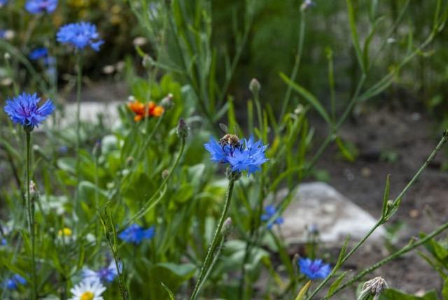 blaue Kornblumen mit Hummel